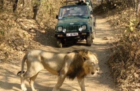 Lion Safari:
