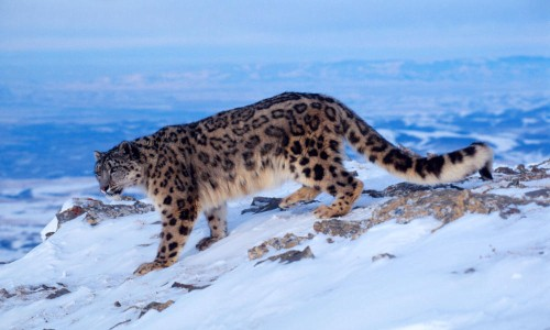 Mountain Leopard