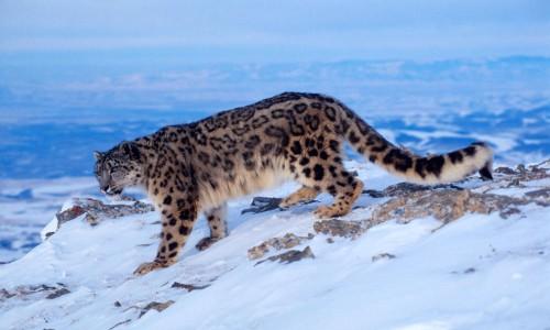 Mountain Leopard