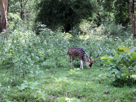 Dear in Parambikulam Wildlife Sanctuary