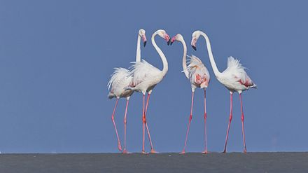 Flamingos at Nalsarovar Bird Sanctuary, Gujarat