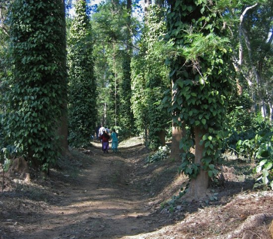 Jungle road in coorg