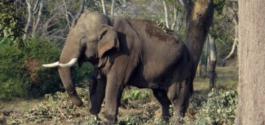 Elephant in Wildlife Sanctuaries of Bihar