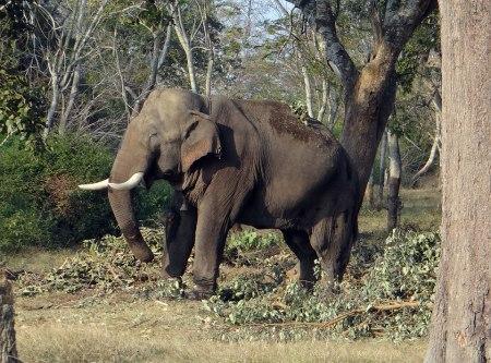 Elephant in Wildlife Sanctuaries of Bihar